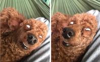 Chó cưng khoe dáng ngủ bá đạo, mắt trợn ngược lộ lòng trắng khiến trộm nhìn thấy cũng... chạy vội