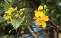 Những giống cây mai đẹp, phổ biến nhất hiện nay