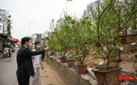 Sau Tết Nguyên đán, người dân Thủ đô bỏ tiền triệu mua cây bưởi về chơi