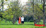 """Phát động phong trào """"Mai vàng trước ngõ"""" xây dựng Huế - thành phố bốn mùa hoa"""