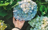 5 sai lầm bạn rất dễ gặp phải khi trồng hoa cẩm tú cầu