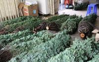Thông tươi chơi Noel, 30 triệu đồng/cây trưng mấy hôm rồi làm củi