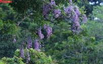 Mê mẩn mùa hoa tím trên bán đảo Sơn Trà