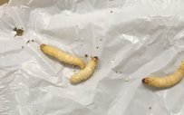 """Khám phá ra """"cỗ máy ăn nhựa"""" 2 trong 1: con sâu bướm cùng vi khuẩn ruột của nó tiêu hóa dễ dàng loại nhựa khó phân hủy nhất"""