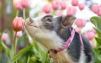 """Bộ ảnh chú heo nhỏ dạo chơi giữa vườn hoa tulip khiến người xem muốn """"lịm tim"""""""