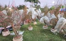 Nhiều người ở Đà Nẵng mua đào Nhật Tân để chơi Tết