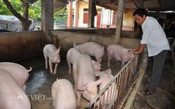 Giá lợn hơi tiếp đà giảm, nhiều người bán tháo