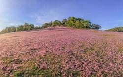 Hãy tới Lâm Đồng chụp ảnh miễn phí với đồi cỏ hồng Lang Biang 2018