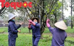 Công nhân nữ đội rét, đu mình trên cây chăm vườn mai