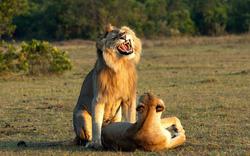 Sư tử đực cười không kịp nhặt răng khi tìm được bạn tình