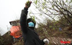 Hà Nội tiếp tục rét đậm, nông dân nơm nớp lo đào không kịp nở đúng dịp tết âm lịch