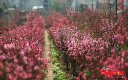 Vì đâu hoa ngày 30 Tết, kẻ bán người mua muôn nỗi niềm?