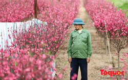 Người trồng đào Nhật Tân