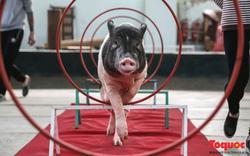 Năm Kỷ Hợi: Cùng khám phá nơi huấn luyện xiếc lợn đầu tiên của Việt Nam