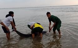 Cứu rùa xanh quý hiếm bị thương, cá heo mắc cạn ở bờ biển Hội An