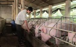 Không được cho lợn ăn