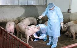 Mạng xã hội lo ngại dịch tả lợn châu Phi, Phó Cục trưởng Cục Y tế dự phòng khẳng định: Không gây bệnh trên người