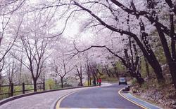 Tháng ba đến Hàn Quốc ngắm hoa anh đào