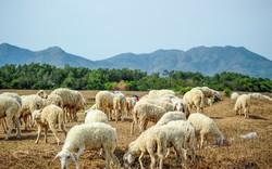 Check-in đồng cừu, điểm du lịch hot của các bạn trẻ hiện nay