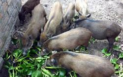 Lợn không được ăn rau chuối, bèo tây, thỏ không được ăn cà rốt: Chính phủ yêu cầu bãi bỏ