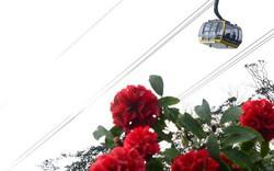 Cận cảnh hoa đỗ quyên ngợp trời Fansipan