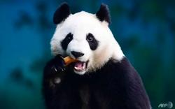 Bất ngờ khi Trung Quốc dùng loạt công nghệ tối tân bảo tồn gấu trúc