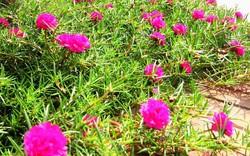 Nhiều người lựa chọn 5 giống hoa này để trồng vì chỉ cần cắm xuống là mọc tốt um