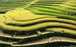 Ngỡ ngàng vẻ đẹp ruộng bậc thang Hoàng Su Phì mùa lúa chín