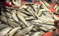 Người dân điêu đứng khi cá nuôi lồng trên sông Bồ lại chết hàng loạt