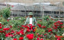 Làng hoa mới nổi ven sông Hồng tất bật vào vụ Tết