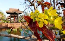 Ngắm mai vàng đón xuân tại Thanh Minh Tự