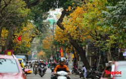 Phố phường Hà Nội nhuộm vàng mùa lộc vừng thay lá