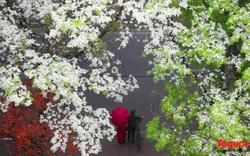 Ảnh đẹp Hà Nội: Vẻ đẹp ngỡ ngàng của những chùm hoa sưa