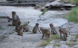 Khỉ tràn xuống ven đường dưới chân bán đảo Sơn Trà để tìm kiếm thức ăn