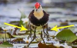Bắt gặp chú chim có 8 chân lơ lửng như loài đột biến nhưng là hành vi chứa đựng tình phụ tử