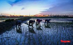 Hà Nội: Nắng nóng hơn 40 độ C, người nông dân soi đèn cấy lúa từ 3h sáng