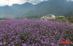 Tím lịm cánh đồng hoa Mã Tiền Thảo Sapa khoe sắc, xoá tan cái nóng mùa hè