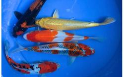 Hai thanh niên trộm 7 con cá Koi trị giá gần trăm triệu đồng