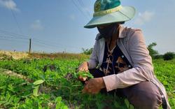Thừa Thiên Huế: Nông dân lo lắng trước nguy cơ bùng phát bệnh khảm lá sắn