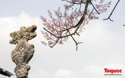Du khách thích thú ngắm hoa ngô đồng nở rộ trong Hoàng cung Huế