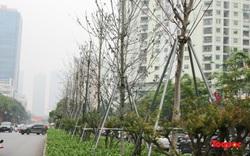 Hiện trạng của hàng phong lá đỏ trước khi bị thay thế ở Hà Nội
