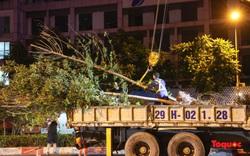 Di dời hàng cây phong lá đỏ ở Hà Nội ngay trong đêm