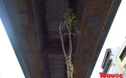 Lạ: Trồng cây xanh dưới gầm đường sắt Cát Linh – Hà Đông