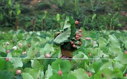 Hà Nội đưa thưởng thức trà sen Quảng An, Tây Hồ vào tour du lịch