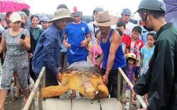 Thả cá thể rùa quý hiếm nặng 70kg vướng lưới ngư dân về biển