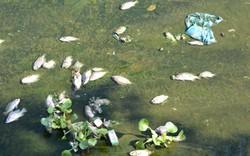 Quảng Nam: Cá chết hàng loạt ở hồ điều hòa Nguyễn Du