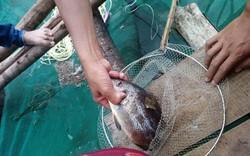 Người dân hoang mang vì cá nuôi lồng chết chưa rõ nguyên nhân