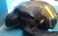 Thả cá thể rùa khoảng 20 năm về lại biển