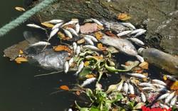 Cá chết bốc mùi hôi thối nổi bồng bềnh trên sông Phú Lộc