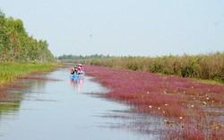 Về Vườn quốc gia Tràm Chim ngắm hoa Nhĩ cán tím đẹp đến nao lòng